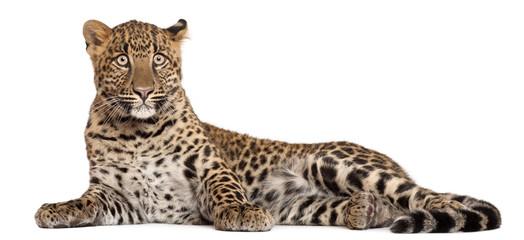 Photo sur Aluminium Leopard Leopard, Panthera pardus, 6 months old,