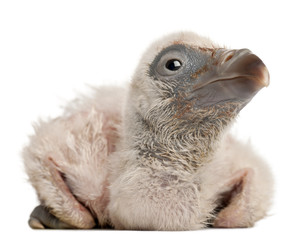 Griffon Vulture, Gyps fulvus, 4 days old, in front of white back