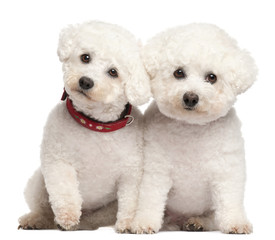 Bichon Frises, 9 and 7 years old