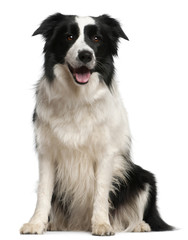 Border Collie, 2 years old, sitting