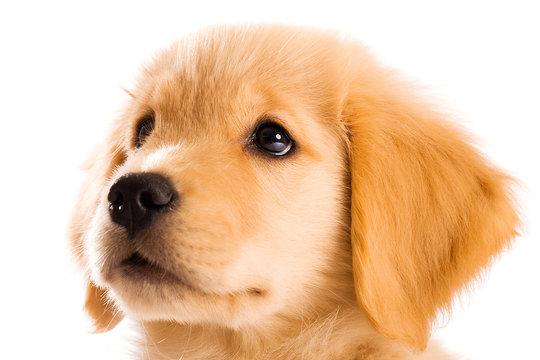 Beautiful Golden Retriever Puppy Face