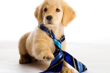 Puppy wearing a tie