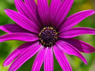 fiore - viola