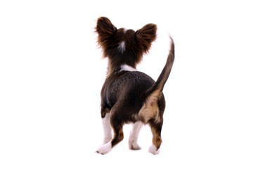 Chihuahua Welpe Rückenansicht