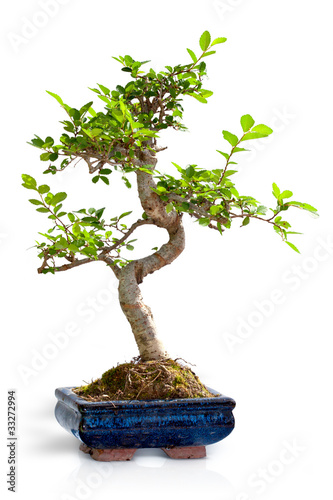 Bonsa orme de chine photo libre de droits sur la banque d 39 images image 33272994 - Orme de chine bonsai ...