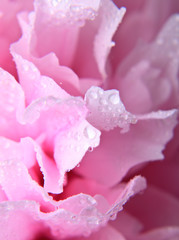 Pink peony background
