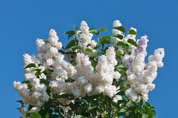 Bunch of white lilac flower in sunny spring day in front of blue