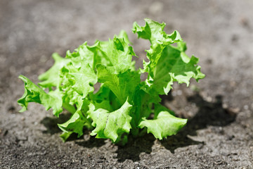 Fresh green lettuce crop on vegetable bed
