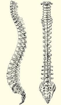 human spine vector illustration black and white