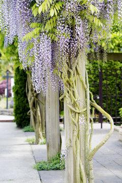 Beautiful, elegant purple wisteria flowers cascading off trellis
