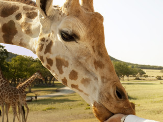 Giraffe Eating from a Hand