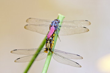 dragonfly mating together