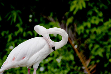 Flamingo a bird
