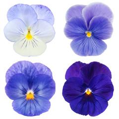 set van blauw viooltje op witte achtergrond