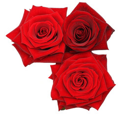 Red Rose flowers Isolated  on White