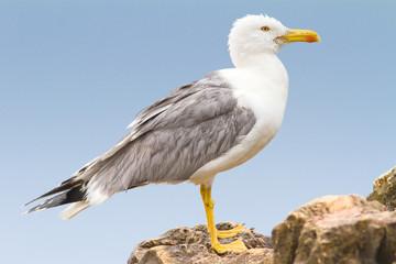 an adult of yellow legged-gull / Larus cachinnans