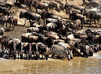 zebra and wildebeest migration, Masai Mara Game Reserve, Kenya