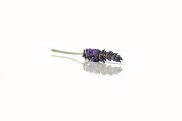 Garden Poster Lavender Brin de lavande seul