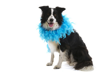 Funny dog with blue feather boa