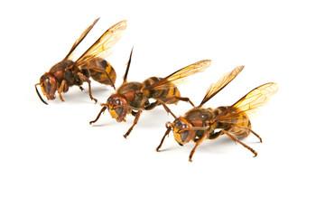 Many big dangerous hornet