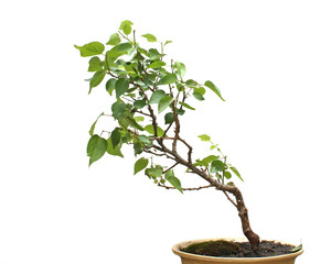 Bonsai on white background