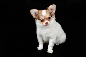 Little chihuahua puppy on the black background. Studio shot