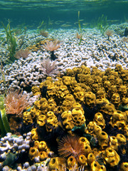 Underwater coral reef with yellow tube sponges and feather duster worms, Bocas del Toro, Caribbean sea, Panama