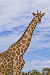 giraffa 01
