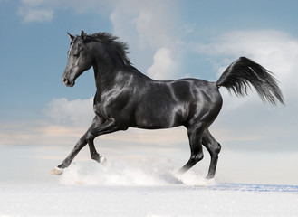 black arab horse on winter