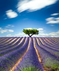 Obraz Lavande Provence France / lavender field in Provence, France - fototapety do salonu
