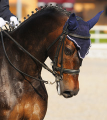 Fototapete - Dressage: portrait of bay horse