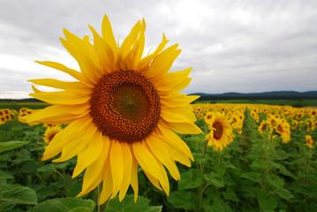 Sonnenblume im Feld bewölkter Himmel
