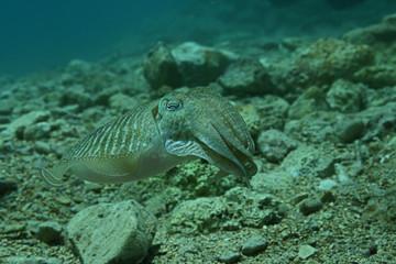 Cuttlefish 2641