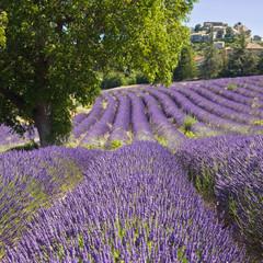 Foto op Plexiglas Lavendel Champ de lavande à Vachères