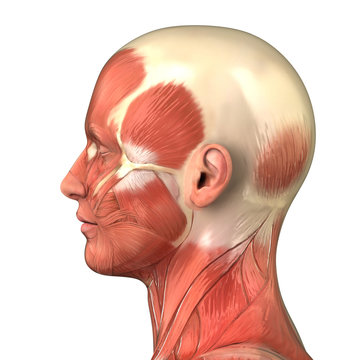 Head muscular system  anatomy right lateral view