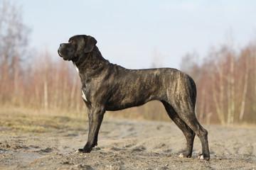 cane corso adulte de profil immobile