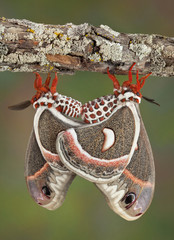 Two Cecropias mating