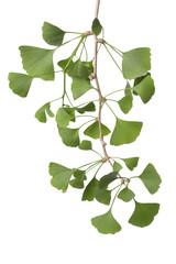 Twig of Ginkgo biloba leaves