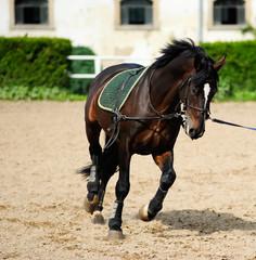 Beautiful dark bay horse during training