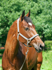 wonderful  bay breed mare