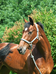 portrait of wonderful  bay horse