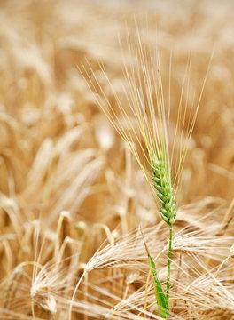 Green wheat stalk in the yellow wheat field.