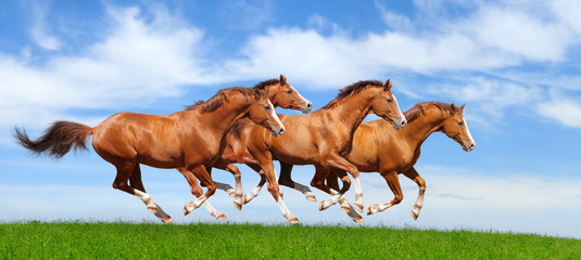 Fototapete - Four sorrel stallions gallop