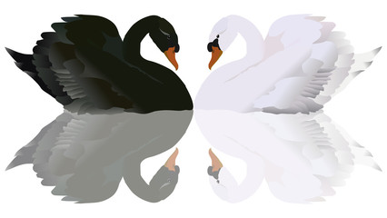 black and white swans with reflection
