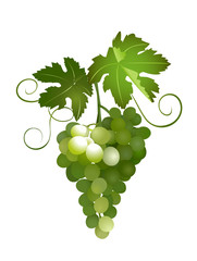 green grapes - vector illustration