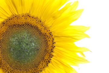 Sonnenblume (close-up)