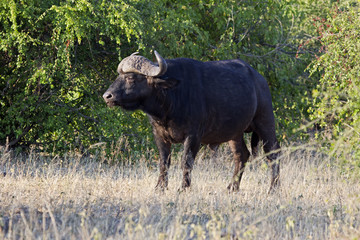 Kaffernbüffel,