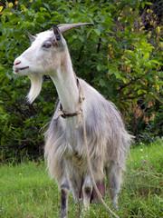 Goat with beard