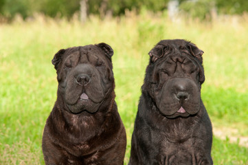 Two black sharpei dogs sitting in the park