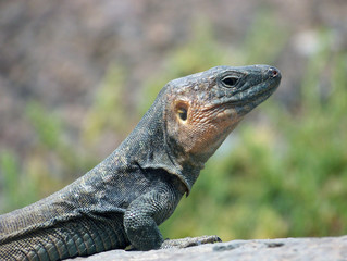 Gecko auf Gran Canaria